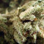 Green Crack Marijuana Strain Review