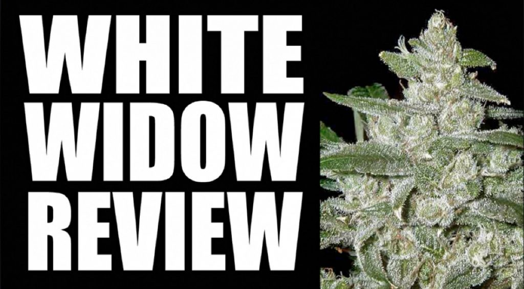 White Widow Strain